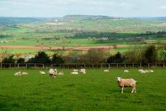 Sheep graze on a farmland Royalty Free Stock Photo