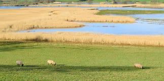 Sheep graze on a farmland Royalty Free Stock Photos