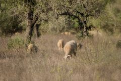 Sheep graze on a field. In Spain Royalty Free Stock Photography