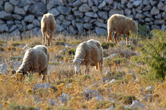 Sheep. Graze in a field with some grass and a lot of stones royalty free stock photo