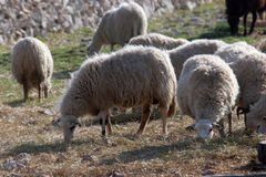 Sheep. Graze in a field with some grass and a lot of stones Stock Photography