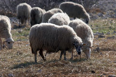 Sheep. Graze in a field with some grass and a lot of stones Royalty Free Stock Images