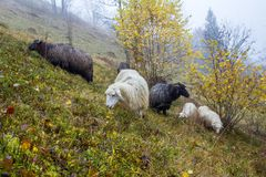 Sheep graze in the foggy autumn forest