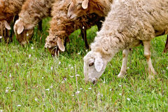 Sheep graze the grass Stock Photos
