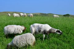 The sheep graze grass in Holland royalty free stock photo