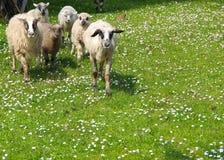 Sheep graze Stock Photography