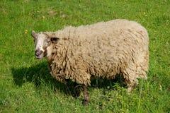 Sheep graze. On a green meadow Stock Photo