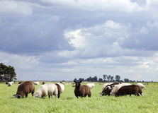 Sheep graze in green meadow under cloudy sky in holland Stock Image