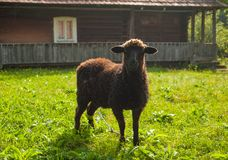 Sheep graze on green pasture near old wood house in the mountains. royalty free stock photography