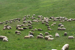 Sheep graze on hillside Royalty Free Stock Photo