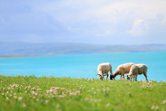 Sheep graze in meadow Stock Photography