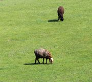 Sheep graze in a meadow. In the park in nature Stock Image
