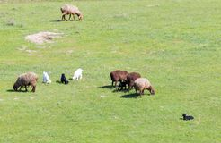 Sheep graze in a meadow Stock Photos
