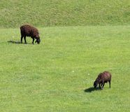 Sheep graze in a meadow Stock Photography