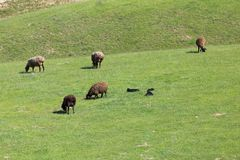 Sheep graze in a meadow. In the park in nature Royalty Free Stock Image