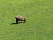 Sheep graze in a meadow. In the park in nature Stock Photos