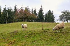 Sheep graze in the meadow. Sheep walk on the grass. A ram eating. Grass on a scorch. Sheep graze in the countryside. Pets lamb walk on nature. Ewe graze in the stock images
