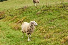 Sheep graze in the meadow. Sheep walk on the grass. A ram eating. Grass on a scorch. Sheep graze in the countryside. Pets lamb walk on nature. Ewe graze in the stock photo