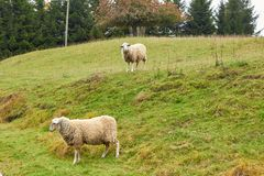 Sheep graze in the meadow. Sheep walk on the grass. A ram eating. Grass on a scorch. Sheep graze in the countryside. Pets lamb walk on nature. Ewe graze in the royalty free stock photography