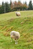 Sheep graze in the meadow. Sheep walk on the grass. A ram eating. Grass on a scorch. Sheep graze in the countryside. Pets lamb walk on nature. Ewe graze in the stock photography