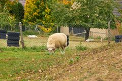 Sheep graze in the meadow. Sheep walk on the grass. A ram eating. Grass on a scorch. Sheep graze in the countryside. Pets lamb walk on nature. Ewe graze in the royalty free stock photos