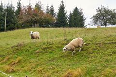 Sheep graze in the meadow. Sheep walk on the grass. A ram eating. Grass on a scorch. Sheep graze in the countryside. Pets lamb walk on nature. Ewe graze in the royalty free stock photo