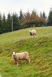 Sheep graze in the meadow. Sheep walk on the grass. A ram eating. Grass on a scorch. Sheep graze in the countryside. Pets lamb walk on nature. Ewe graze in the stock photos