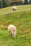 Sheep graze in the meadow. Sheep walk on the grass. A ram eating. Grass on a scorch. Sheep graze in the countryside. Pets lamb walk on nature. Ewe graze in the royalty free stock images