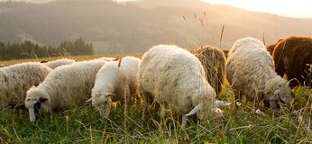 Sheep graze on the mountain pasture. Royalty Free Stock Photo