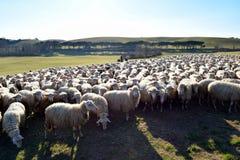 Sheep graze near Orvieto, Terni, Italy. Flock sheep long wool facial expressions grazing in pasture green hills trees open spaces near Orvieto, Province of Terni stock photo