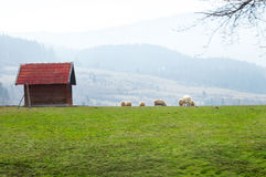 Sheep graze near the quiet village Royalty Free Stock Photography