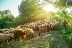 Sheep graze in the pasture Royalty Free Stock Photos