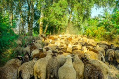 Sheep graze in the pasture Stock Photo