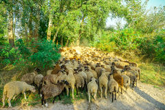 Sheep graze in the pasture Stock Photography
