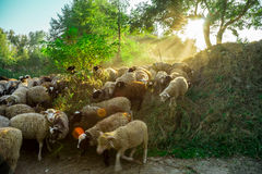 Sheep graze in the pasture Royalty Free Stock Image