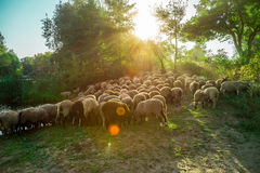 Sheep graze in the pasture Stock Images