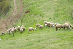 While sheep graze. Photo made in the heart of the mountains Berici near Vicenza in the Veneto (Italy). The mountains are berici a small plateau just over 300 royalty free stock images