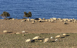 Sheep graze by the sea. Sheep graze on the shore of the blue sea in a paddock Stock Photography
