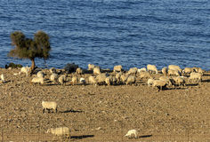 Sheep graze by the sea. Sheep graze on the shore of the blue sea in a paddock Royalty Free Stock Photos