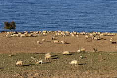 Sheep graze by the sea. Sheep graze on the shore of the blue sea in a paddock Stock Images