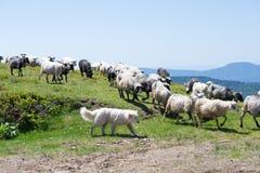 The sheep that graze on the slopes of the Ukrainian Carpathians accompanied Shepherd. The dog protects sheep that graze on the slopes of Ukrainian Carpathians stock photos