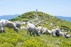 The sheep that graze on the slopes of the Ukrainian Carpathians. The mountain is visible shepherd. Sheep grazing on the slopes of Ukrainian Carpathians Royalty Free Stock Image
