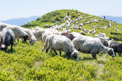The sheep that graze on the slopes of the Ukrainian Carpathians supervised shepherd. Sheep grazing on the slopes of Ukrainian Carpathians royalty free stock photo