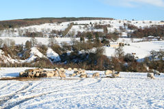 Sheep graze in Winter. Royalty Free Stock Image