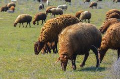 Sheep grazed. Sheep and rams on a meadow, Sheep are grazed in the field Royalty Free Stock Images