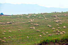 Sheep are grazed on a hill. Along road Royalty Free Stock Photography