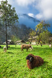 Sheep grazed on pasture in the Alps Royalty Free Stock Image