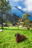 Sheep grazed on pasture in the Alps Royalty Free Stock Photo