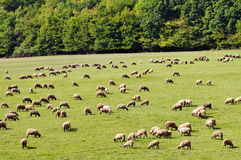Sheep grazes Stock Photo
