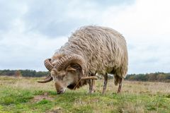 A sheep grazes on the Blaricummer heath. A Drents heather sheep grazes on the Blaricummer heath on a cloudy day in the Netherlands royalty free stock photo